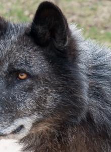 Wolfspaziergang-7636