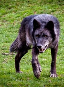 Wolfspaziergang-7649